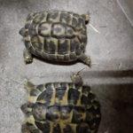 Griechische Landschildkröten von 2013 zu verkaufen
