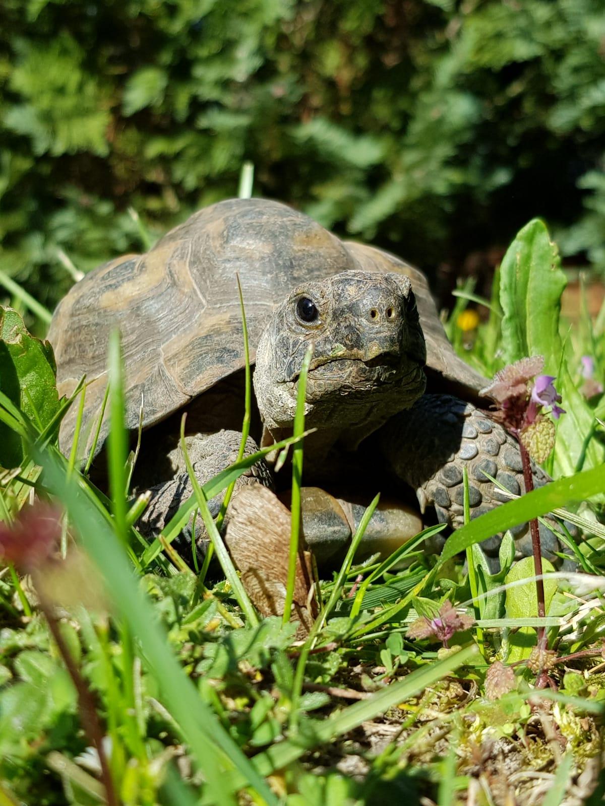 Maurische Landschildkröte im Freigehege