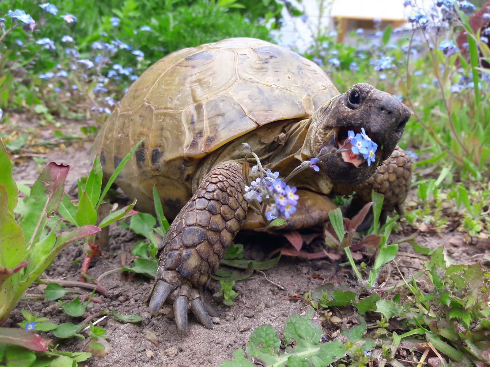 Steppenschildkröte frisst Vergissmeinnicht