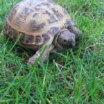 Vierzehenschildkröte vermisst in Dortmund (Stadtteil Huckarde)