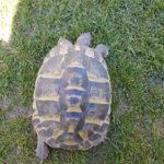 Landschildkröten Männchen abzugeben