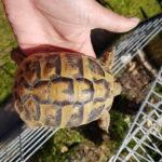 Landschildkröten Pärchen abzugeben