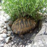 Schildkrötengehege - welche Pflanzen im Gehege für Landschildkröten?