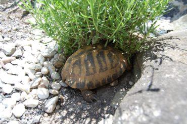 Schildkrötengehege – welche Pflanzen im Gehege für Landschildkröten?