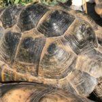 Griechische Landschildkröte vermisst im Saarpfalz-Kreis