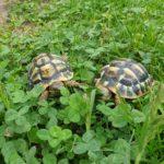 Zwei Griechische Landschildkröten NZ 2018 zu verkaufen
