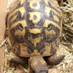 Landschildkröte in Altstätten gefunden