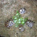 4 Griechische Landschildkröten Testudo hermanni hermanni NZ 2018 zu verkaufen mit Cites Bescheinigungen