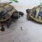 Babylandschildkröten Verkauf