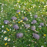 Breitrand - Landschildkröten