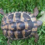 Schildkröte entlaufen/vermisst in 68647 Biblis
