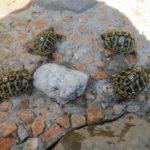 Griech. Dalmat.Landschildkröten