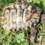 Griechische Landschildkröte mit stolzem Alter zu verkaufen