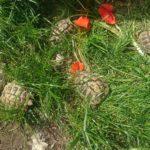 Griechische Landschildkröten Eigenzucht