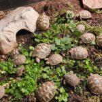 Griechische Landschildkröten NZ 2018 und 2019 zu verkaufen