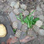 Griechische Landschildkröten NZ 2018 zu verkaufen