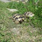 Griechische Landschildkröten NZ aus 2018 und 2019 suchen ein neues Zuhause