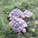 Griechische Landschildkröten (testudo hermanni)