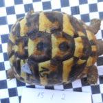 Griechische Landschildkröten zu verkaufen , Nachzuchten privat