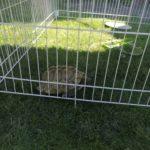 Griechische Landschildkröte gefunden in 63654 Büdingen