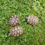 Maurische Landschildkröten NZ 2018
