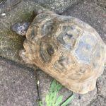 Persische Landschildkröte (Testudo graeca zarudnyi) männlich zu verkaufen