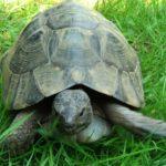 Schöne Breitrandschildkröte zu verkaufen DE NZ 2002