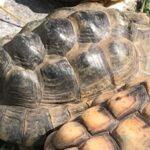 Schildkröte-II