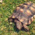 Breitrandschildkröte vermisst in Bonn-Beuel