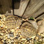 Stattliches Schildkrötenmännchen zu verkaufen