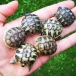 Verkaufe süße kleine griechische Landschildkröten