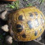 Weibliche Steppenschildkröten (Testudo horsfieldii) abzugeben