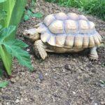 Spornschildkröte vermisst