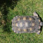 Breitrandschildkröte 18 Jahre alt, männlich