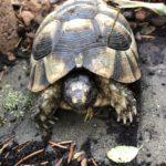 Breitrandschildkröten Weibchen und Männchen