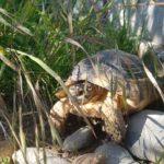 Breitrandschildkröten (von 2012) zu verkaufen