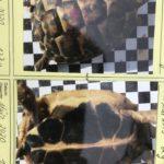 Gr. Landschildkröten THH Nz 2015