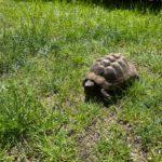 Griechische Landschildkröten abzugeben
