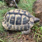 Griechische Landschildkröte NZ 2012