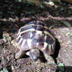 Griechische Landschildkröte zu verkaufen