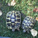 Griechische Landschildkröten 2017 zu verkaufen