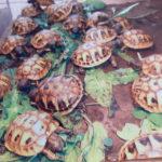 Griechische Landschildkröten (Testudo hermanni hermanni)