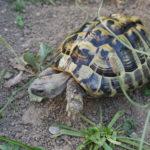 Griechische Landschildkröten aus 2009 zu verkaufen