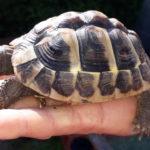 Griechische Landschildkröte Nz 2014 zu verkaufen