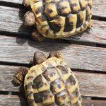 Landschildkröten zu verkaufen
