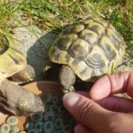 Griechische Landschildkröte vermisst in 41515 Grevenbroich