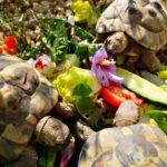 Griechische Landschildkröten 2008