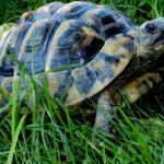 2 Griechische Landschildkröten NZ 2012