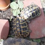 Biete an 2 Griechische Landschildkröten Weiblich von 2010
