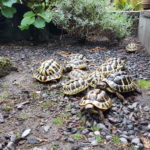 Griechische Landschildkröten NZ 2017/2018